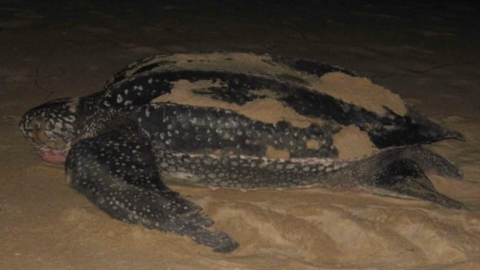 tortugas baula gabon