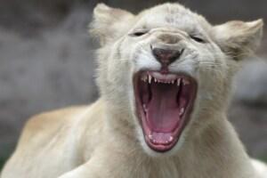 Cachorros de león blancos