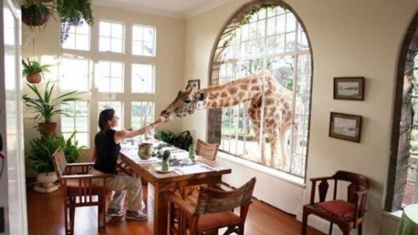 A la hora del desayuno, las jirafas se asoman a la mesa para probar algo de comer.