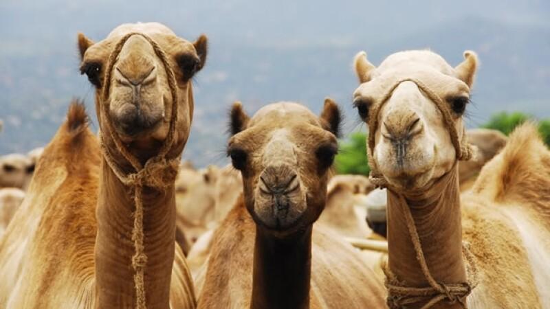 hamburguesa camello