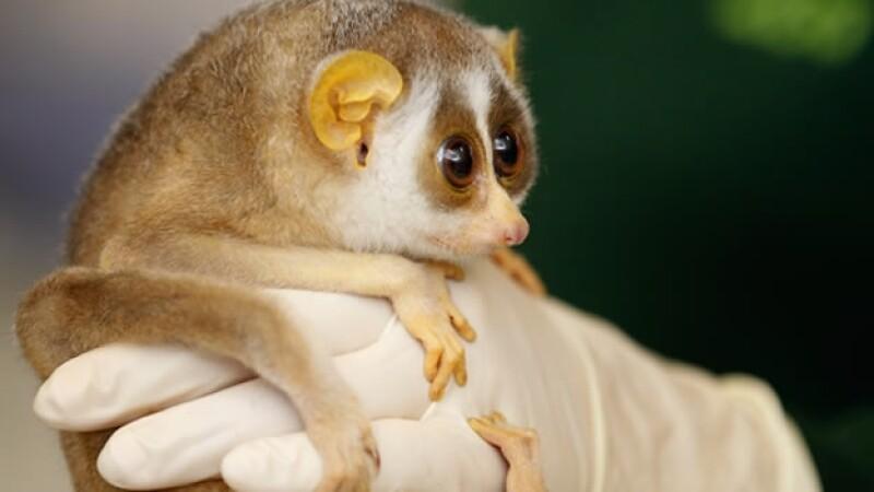 Primate slender sloris del zoológico de Londres