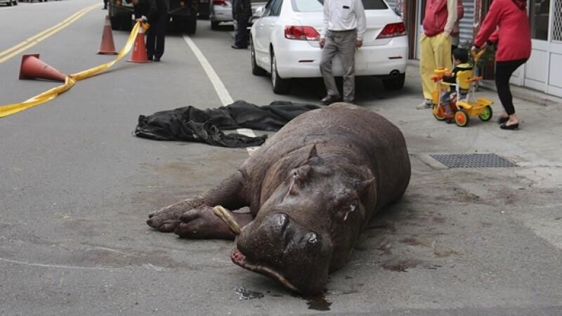 hipopótamo herido Taiwán