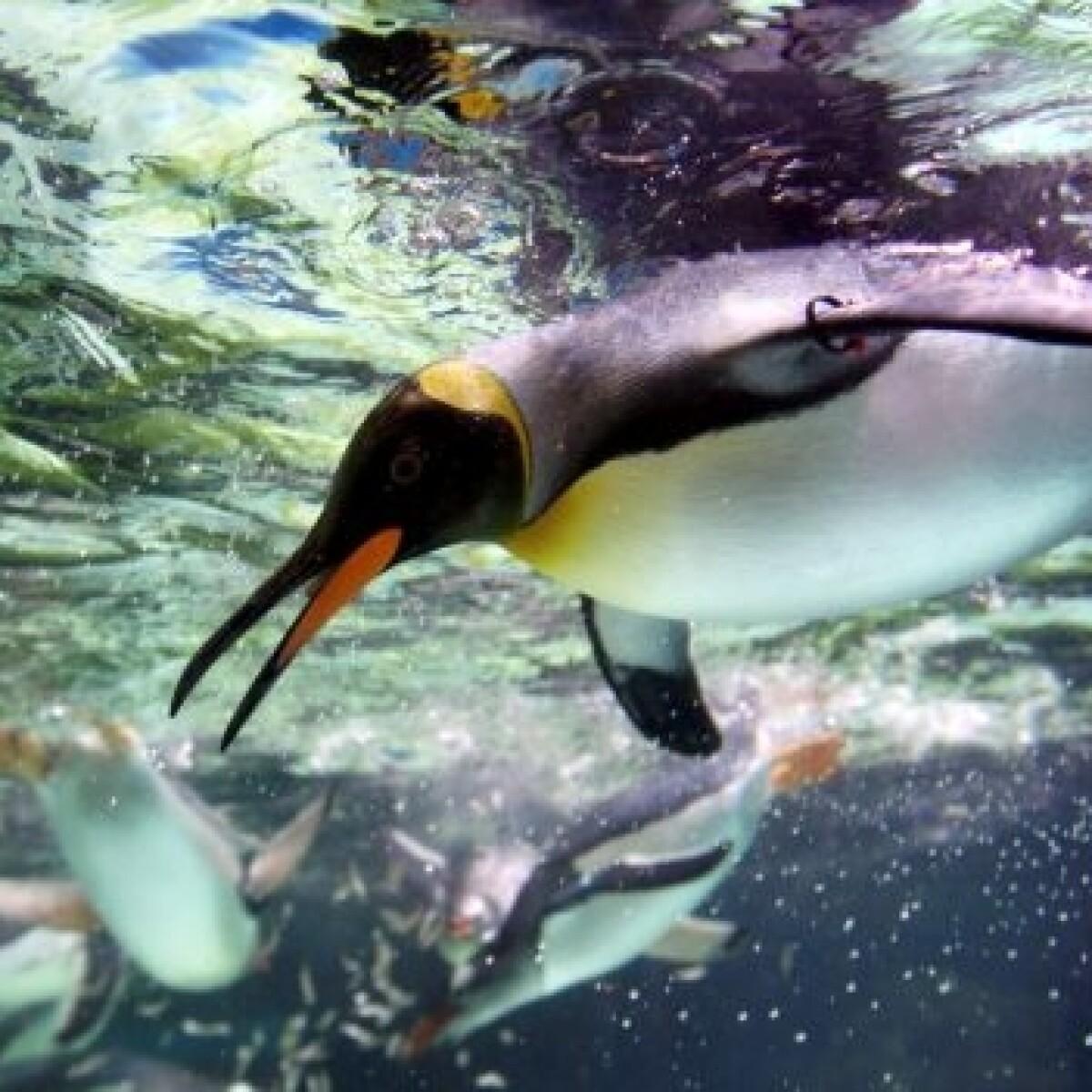 Paleontólogos argentinos hallaron los restos de un \'súper pingüino\'
