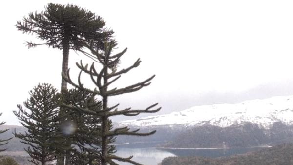 Los bosques chilenos de araucarias están en peligro de extinción