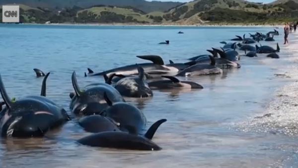 ballenas piloto varadas