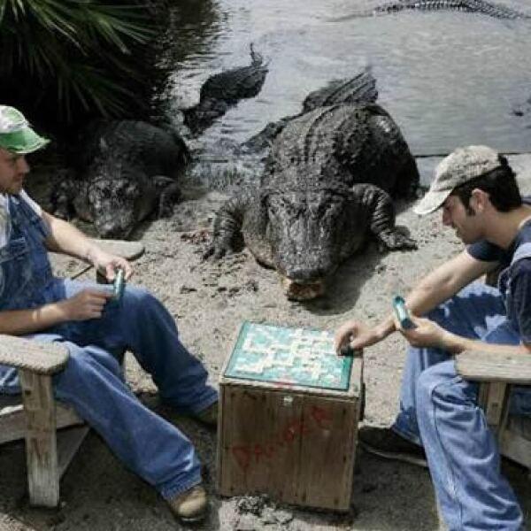 """Guardabosques del parque temático Gatorland en Florida cuentan con el apoyo y """"asesoría"""" de los cocodrilos que viven en el parque durante sus partidas."""