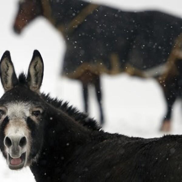 burro y caballo en tormenta de nieve
