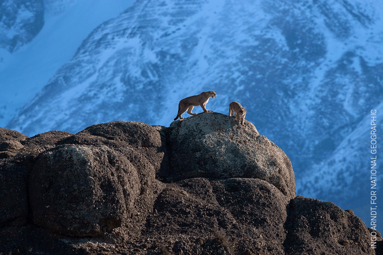 Wild Pumas of Patagonia