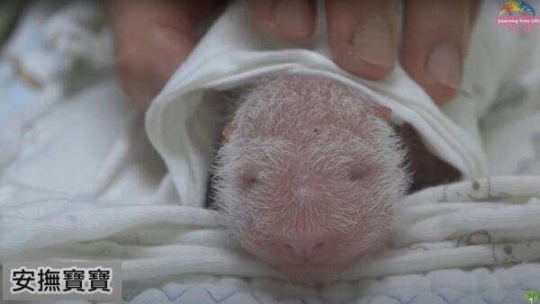Un panda bebé, el zoológico de Taiwán presenta a su nuevo integrante