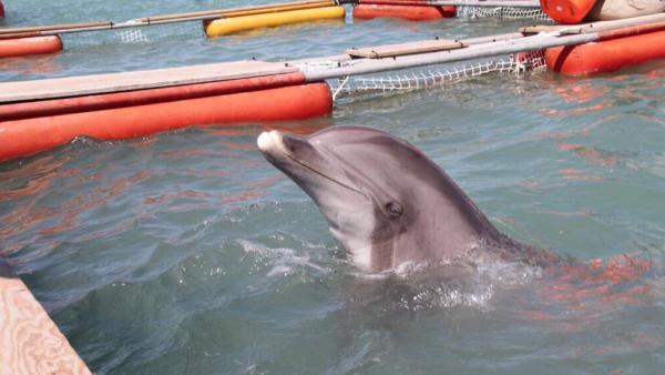 Cuatro delfines llegan a México con la misión de salvar a la vaquita marina
