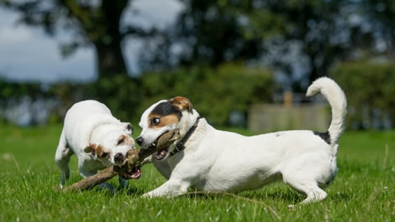 perros celos juego