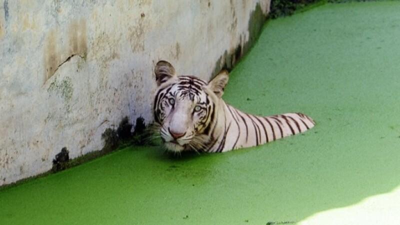 Tigre blanco India
