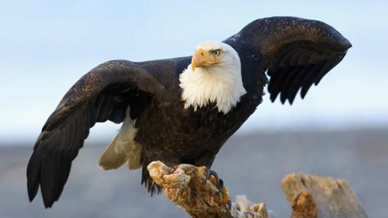 águila calva especies aves
