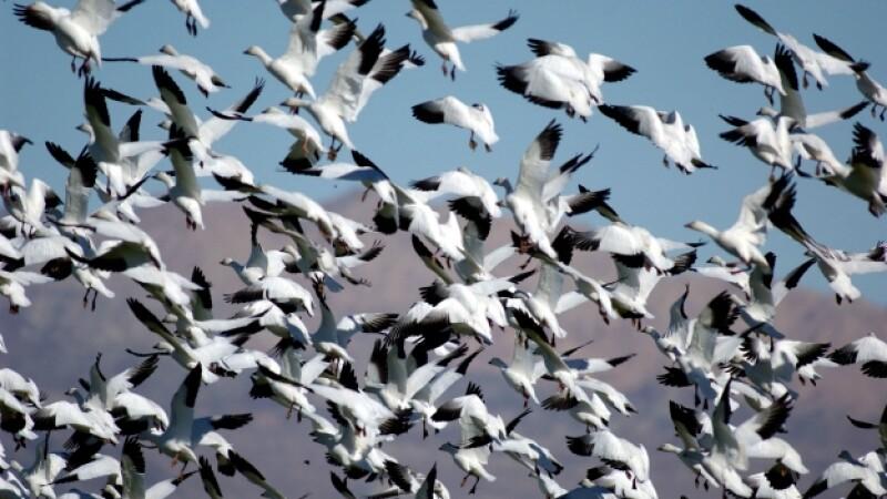 gansos blancos mueren en idaho