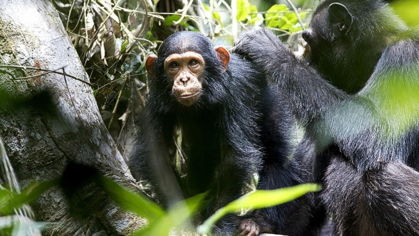 chimpancés congo protección 05