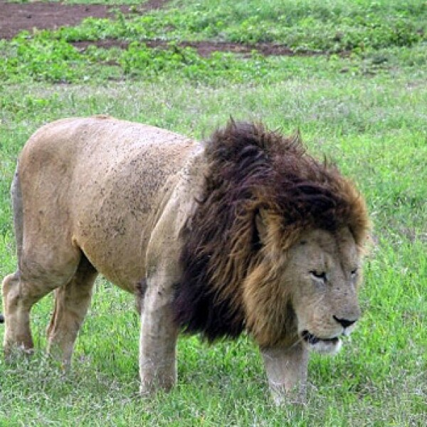 Tanzania: Take a ride on the wild side leon
