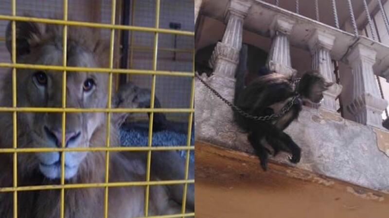 Leon mono araña profepa