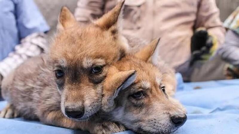Lobos inseminación artificial