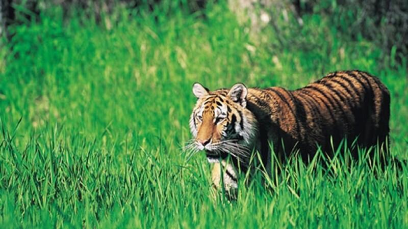 tigre ataca a domador