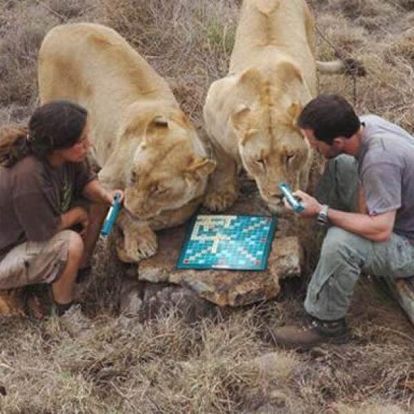 Kevin Richard y Helga van der Merwe jugaron una extraordinaria partida de Scrabble en Sudáfrica e invitaron a los leones Meg y Amy a unirse al juego. Todos los participantes demostraron que no necesitan mesa para jugar.