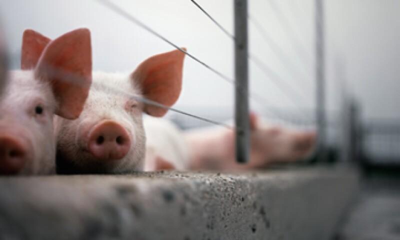 El virus de Diarrea Epidémica Porcina afecta a lechones con 10 o menos días de vida. (Foto: GettyImages)