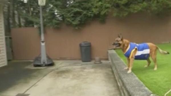 Koa, la perrita que es una gran jugadora de basquetbol
