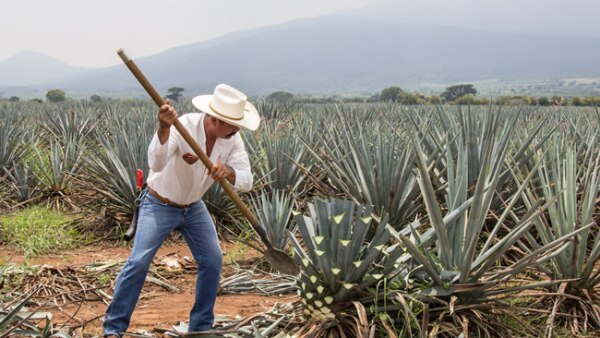 agave campo