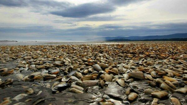 Las halgas son la causa del varamiento de miles de moluscos y sardinas.