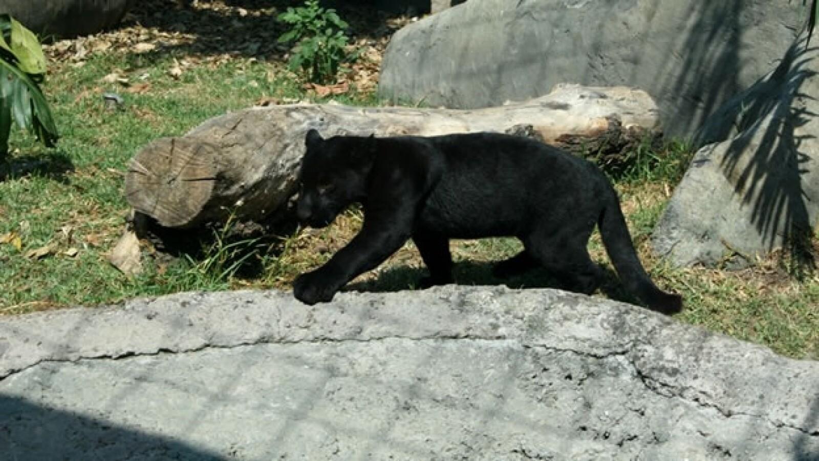 jaguar negro chapultepec