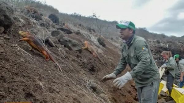Más de mil iguanas tienen la misión de restaurar ecológicamente esta zona