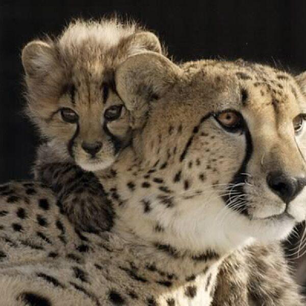 El veloz guepardo, felino con cuatro millones de años de existencia, es una especie vulnerable, amenazada por la caza y el comercio ilegales. Se estima que en el sur de África hay sólo 4,500 millones de ejemplares adultos.