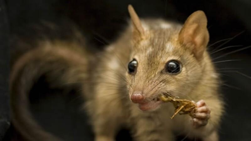 quoll especie marsupial
