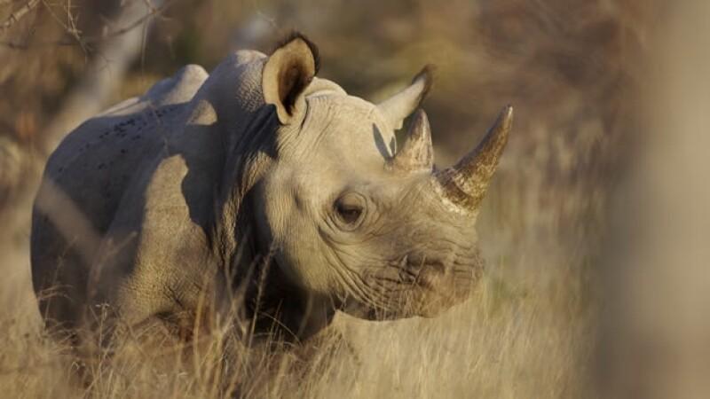bonito rinoceronte en la reserva balule game