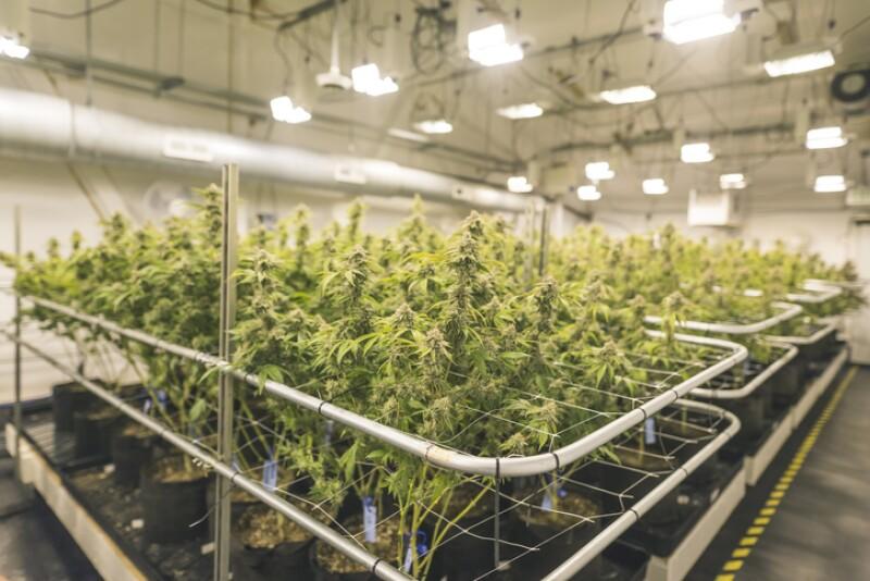 Siembra de marihuana en invernadero