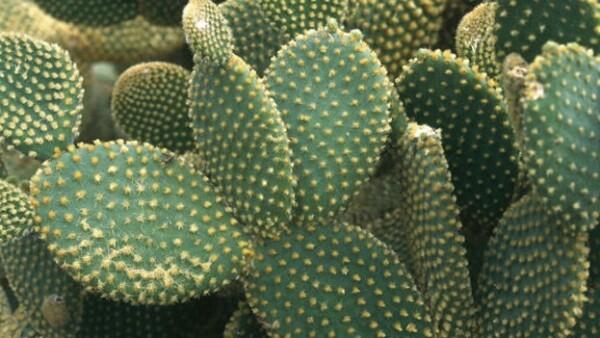 CDMX es principal productor de nopal y romerito en todo el país.