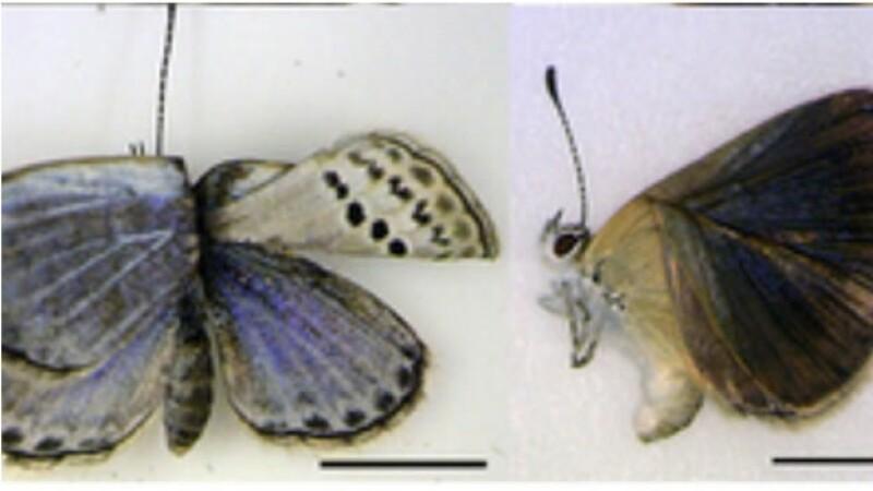 mariposas mutantes de Fukushima