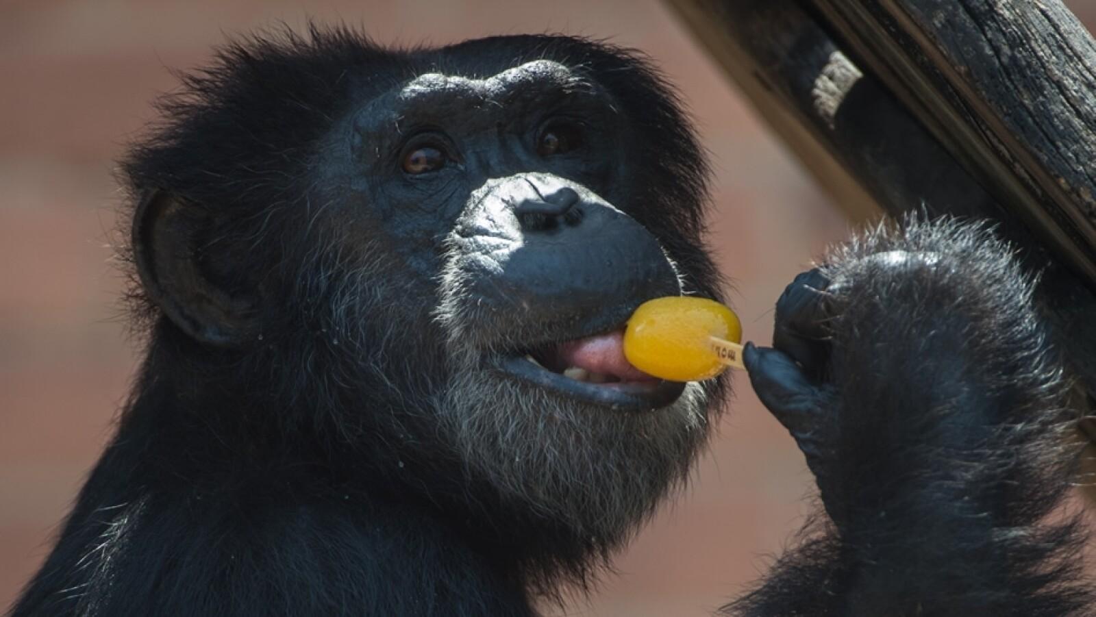 chimpance calor