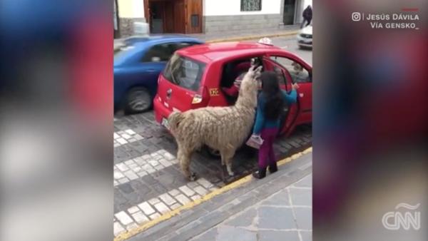 Una llama fue captada tomando un taxi en Perú
