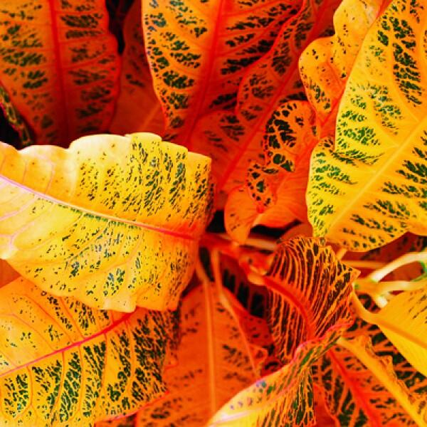 Hojas como ésta abundan en la zona, que tiene una vegetación tropical por esta en el Mar Caribe.