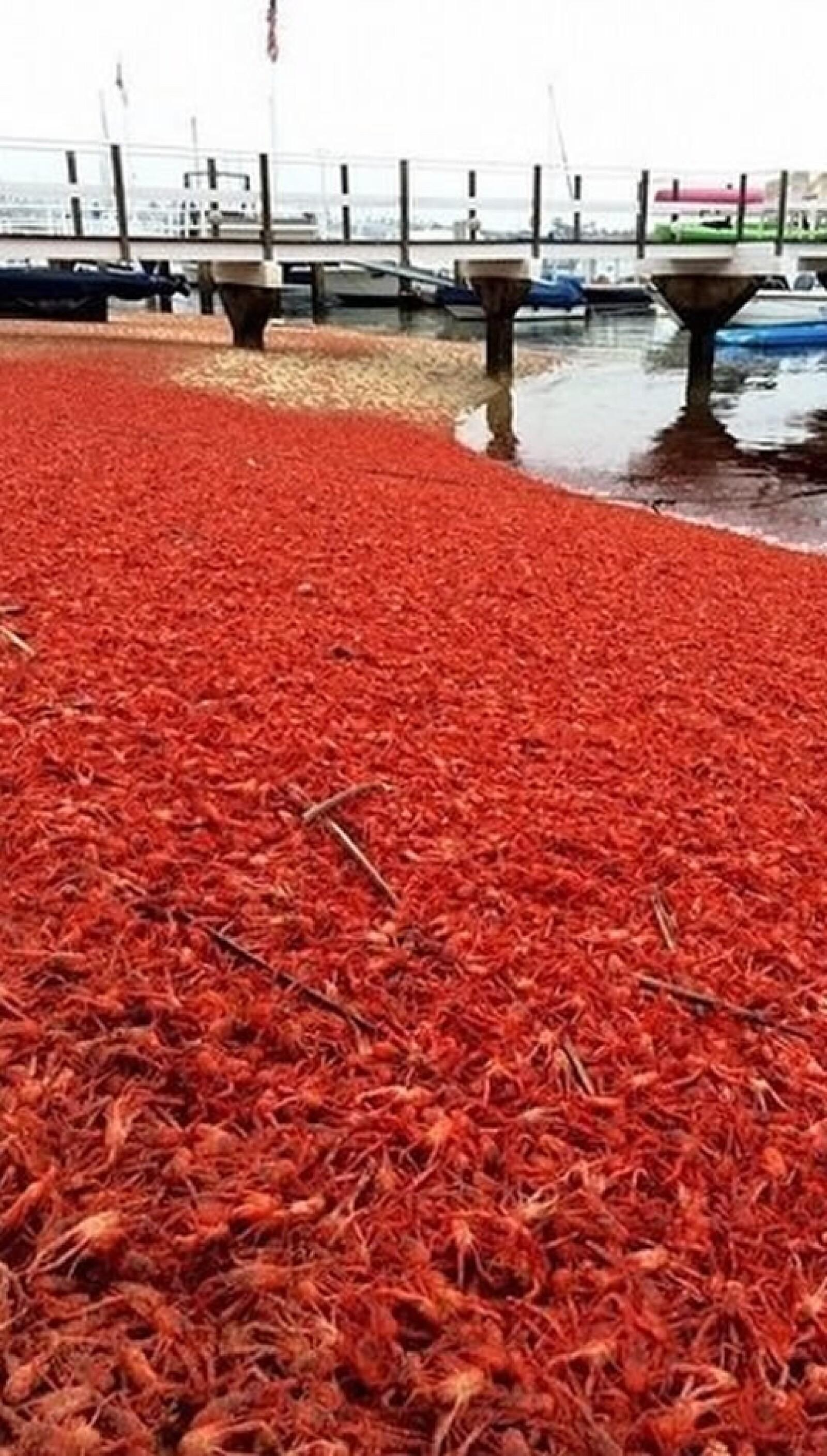 cangrejos rojos San Diego California