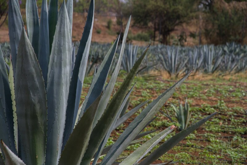 Maguey