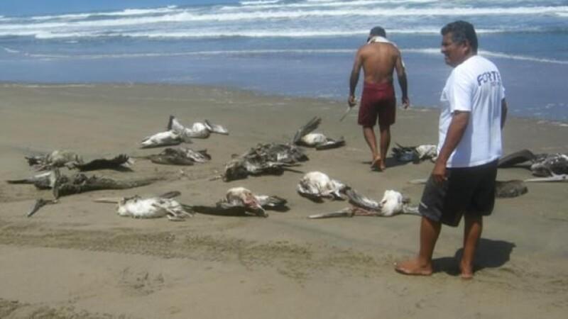 pelícanos perú
