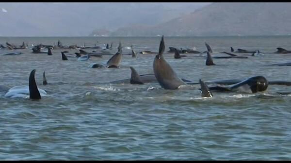 Mueren 380 ballenas varadas en bahía de Australia