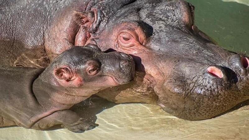 El bebé hipopótamo que nació en el Zoológico de Los Ángeles acompañado de su madre ?Mara?