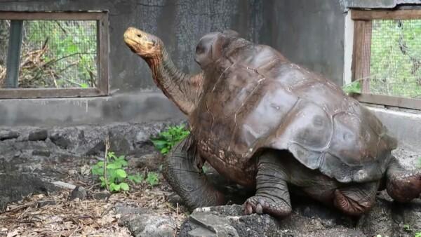 Esta tortuga salvó a su especie de la extinción y ahora vuelve a Galápagos