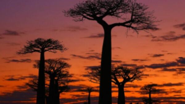 Los árboles Baobab de 1,000 años son el telón de fondo de intensos atardeceres rurales en Madagascar. (Foto: Anisha Shah )