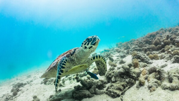Rare underwater encounter with Critically Endangered Hawksbill Sea Turtle (Eretmochelys imbricata)