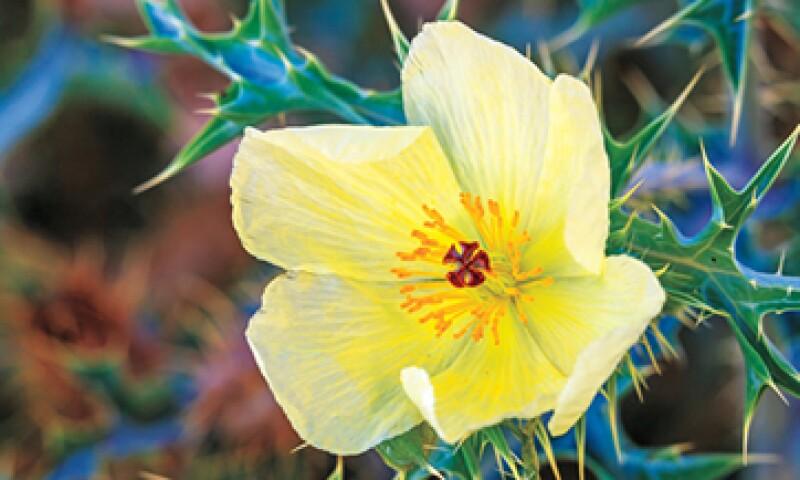 Es frecuente encontrar la flor de cardo o chicalote en los márgenes de las carreteras en estos estados del norte. (Foto: Tomada de biosphoto.com)