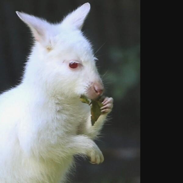 canguro, albino 1