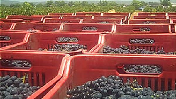 Para la producción de sus vinos, mezclan tecnolgía enológica y trabajo artesanal. (Foto: CNNExpansión.com)